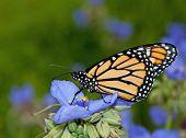 Monarch butterfly on blue Spiderwort flower