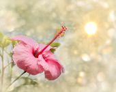 Imagen de ensueño de una rosa rosa de China