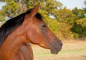 Profile of a beautiful red bay Arabian horse