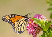 Migrating Monarch butterfly, Danaus plexippus, feeding on a Zinnia flower