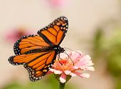 Monarch butterfly with its wings wide open, feeding on a pink flower