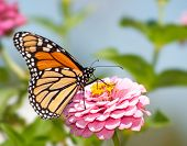 Monarch butterfly feeding flower nectar on a pink Zinnia in summer garden