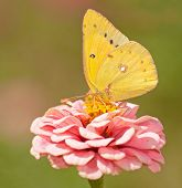 Orange Sulphur, Colias eurytheme butterfly feeding on pink Zinnia against green background