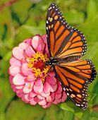 Dorsal view of a female Monarch butterfly, Danaus plexippus, feeding on a pink flower