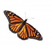 Dorsal view of Danaus plexippus, Monarch butterfly, isolated