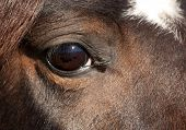 Soulful eye of a dark bay Arabian horse
