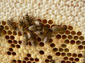 Honey cells with working bees