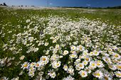 picture of hayfield  - Hayfield with daysies - JPG