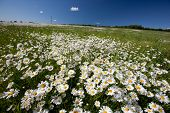 Hayfield with daisies, beautiful nature of Latvia