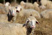 Curios Sheeps