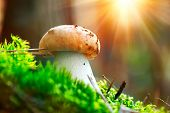 Cep Mushroom Growing in Autumn Forest. Boletus. Mushroom picking concept. Mushrooms growing in woods poster