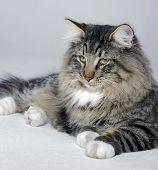 Resting Norwegian Forest Cat