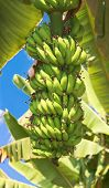Green bananas in banana plantation against blue sky, Hampi, India