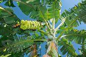 Green bananas in banana plantation against blue sky, Hampi, India