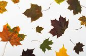 Autumn Leaves Isolated On White Background. Autumn Leaves Background. Autumn Composition. Frame Made poster