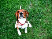 Lindo Beagle
