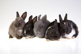 stock photo of bunny rabbit  - five lying bunny isolated on white background - JPG