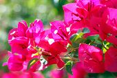 Light Through The Bougainvillea (Nyctaginaceae)