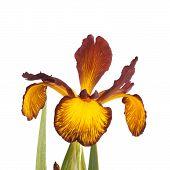 Single Flower Of Spuria Iris Isolated On White