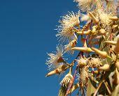 Australian Eucalyptus White Flowers Against Blue Sky