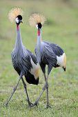 Grey-Crowned Cranes