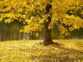 Fall Tree In Yellow