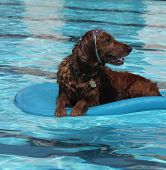 Dog on a floaty with goggles
