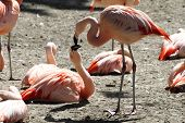 Pink Flamingos Are Kissing
