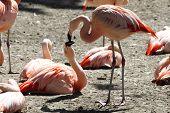 Pink Flamingos Are Kissing