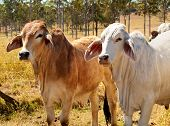 Australian Beef Cattle Industry Red and Grey Brahman Cows