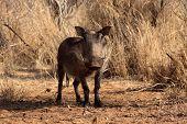 Alert Warthog Male In Clearing