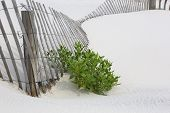 image of windswept  - Fallen snow fencing on white sand with accent of beach plant - JPG