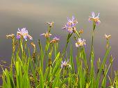 Iris salvaje pastel