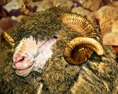 Closeup Head Of Unique Sheep With Curly Horns