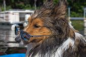 Closeup Of Shetland Sheepdog Wearing Sunglasses