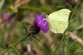 A Male Brimstone Butterfly