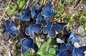 Mazarine Butterflies On Manure