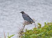 Raven In A Coastal Tree