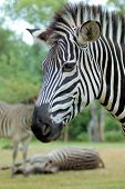 Close up of Zebra Head, Zambia