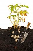 picture of root-crops  - Potato plant and potato crop in soil with a garden trowel