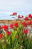 Crocosmia Lucifer Montbretia planta de flores vermelho
