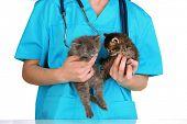 Veterinarian examining kittens isolated on white
