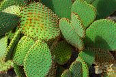 stock photo of cactus  - Bunny Ears Cactus - JPG