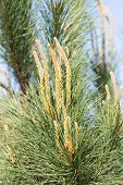 image of pinus  - Needles of a pine tree  - JPG