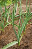 Green Plant Garlic