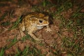 Common Toad Sitting In The Grass