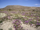 picture of anza  - Wildflowers bloom in the short desert Spring - JPG