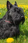 stock photo of scottie dog  - Black dog Scottish Terrier breed standing on a yellow - JPG
