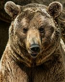 picture of hairy  - Brown bear close - JPG