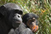 Mother Chimpanzee